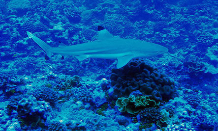 Why Sharks And Solutions to Oceans Problems Are Declining Worldwide | OUR OCEANS NEED US | Scoop.it