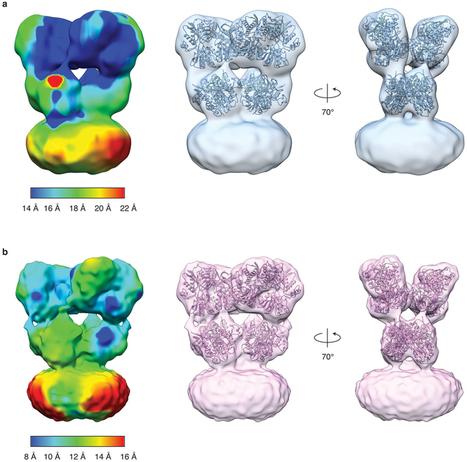 Structural mechanism of glutamate receptor activation and desensitization   Neuroscience_topics   Scoop.it