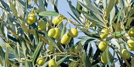 L'Afidol lance une enquête sur l'abandon des oliveraies | HORTICULTURE BOTANIQUE | Scoop.it