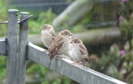 Sparrows with Unfaithful 'Wives' Care Less for Their Young | Cultural Worldviews | Scoop.it