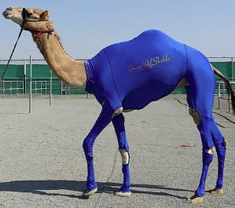 Lycra suits are designed to give racing camels the edge   Interesting Reading to learn English -intermediate - advanced (B1, B2, C1,)   Scoop.it