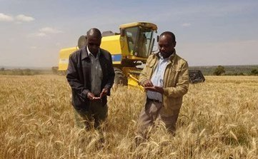 Narok wheat farmers' strategy and good weather boost crop yield | Wheat World | Scoop.it