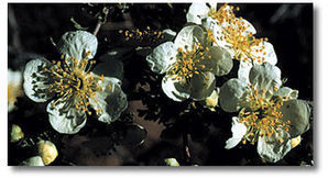 Cliffrose Purshia mexicana Rose Family DesertUSA | Water Conservation for Lawn and Landscape | Scoop.it
