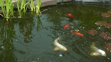 'We're devastated': Koi fish caper in Brigus Junction   Koi keeper   Scoop.it