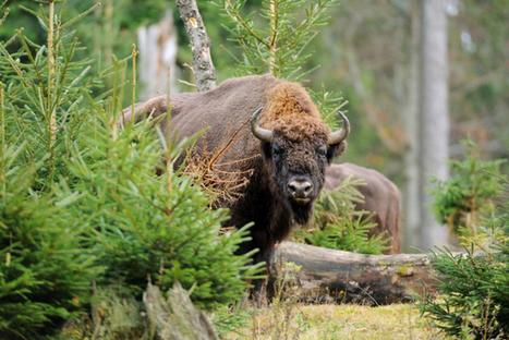 Le bison sauvage bientôt de retour en Suisse? | Planète, Nature et Biodiversité | Scoop.it