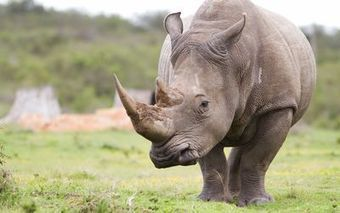 New plan to rebuild old fence to stop Mozambique rhino poachers | What's Happening to Africa's Rhino? | Scoop.it