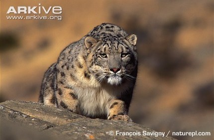 ARKive - Snow leopard videos, photos and facts - Panthera uncia | All about nature | Scoop.it
