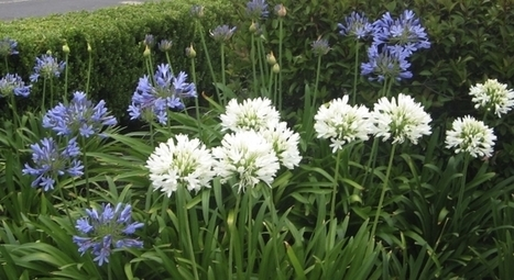 Try agapanthus for beautiful garden borders | Gardening Life | Scoop.it