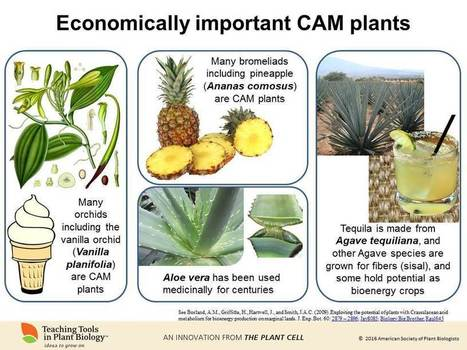 Newest Teaching Tool: Carbon-Fixing Reactions of Photosynthesis   Plant Biology Teaching Resources (Higher Education)   Scoop.it