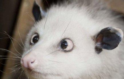 Après l'ours Knut, Heidi l'opossum qui louche conquiert les coeurs allemands | Mais n'importe quoi ! | Scoop.it