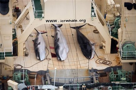 Japan whaling future in doubt after court ruling | Marine Conservation | Scoop.it