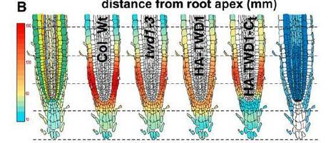 Plant Cell: Arabidopsis TWISTED DWARF1 Functionally Interacts with Auxin Exporter ABCB1 on the Root Plasma Membrane | Plant genetics | Scoop.it
