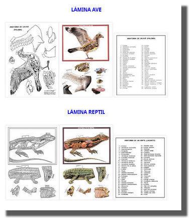 Recortables anatomía vertebrados | natur...