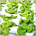 Hydroponic Produce Gains Fans and Flavor | Vertical Farm - Food Factory | Scoop.it