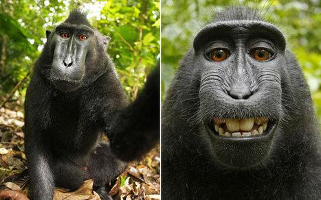 Wikipedia refuses to delete photo as 'monkey owns it' - Telegraph | Potpourri | Scoop.it