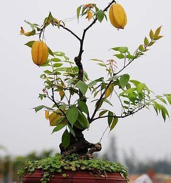 Cách trồng cây khế trong chậu-Vườn cây bốn mùa | tamdeptrai | Scoop.it
