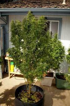 What Does A 1 Pound Plant Look Like Outdoors