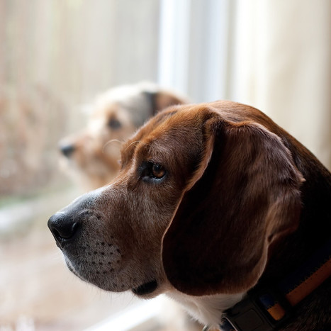 5 Simple Ways to Help Stop Separation Anxiety in Dogs | Pets | Scoop.it