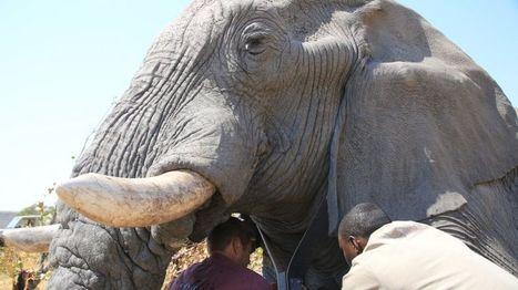 Why elephants are seeking refuge in Botswana | Wildlife Trafficking: Who Does it? Allows it? | Scoop.it