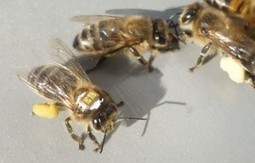 Yes, Insecticides Kill Bees. Honey bees tagged with RFID chips ID Chemical That May Contribute to Colony Collapse | Weird Science | Scoop.it