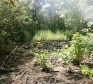 Australes : 315 plants  de cannabis détruits | Fangataufa.Moruroa | Scoop.it