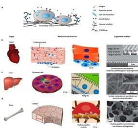 Introduction to Tissue Engineering; Nanotechnology applications | NanoMedicine Revolution | Scoop.it