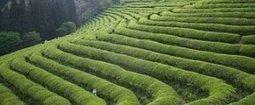 Green Tea Health Benefits: The LatestScience | Herbs & Spices InnOrbit | Scoop.it