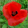 Fée Coquelicot