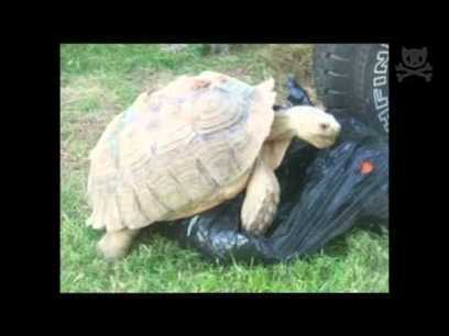 Turtle Tries to Have Sex With a Trash Bag | In Today's News of the Weird | Scoop.it