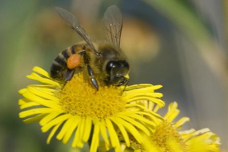 Les fabricants de pesticides présentent leurs programmes de protection des abeilles | Bio alimentation | Scoop.it