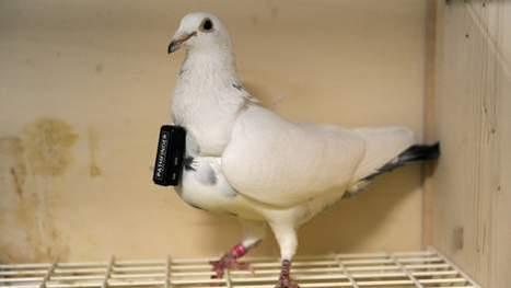 """Un pigeon voyageur """"arrêté"""" car il livrait de la drogue   Mais n'importe quoi !   Scoop.it"""