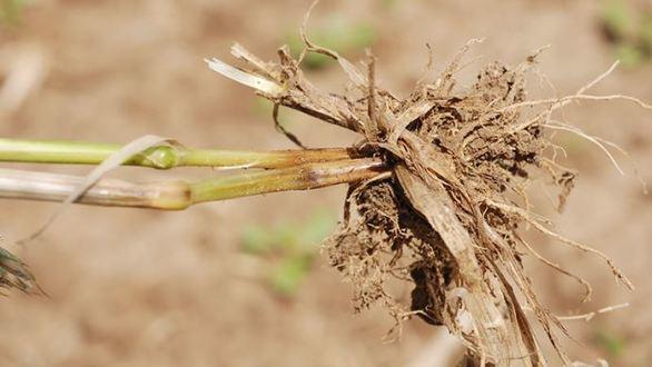 Risque de piétin verse sur blé tendre