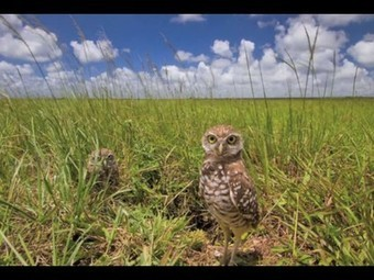 Oh the cuteness! Burrowing owls get up close with hidden camera | animals and prosocial capacities | Scoop.it