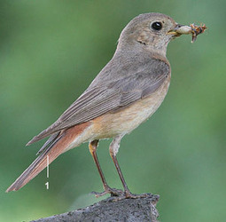 Identifier les oiseaux des parcs et des jardins for Oiseaux de nos jardins en belgique