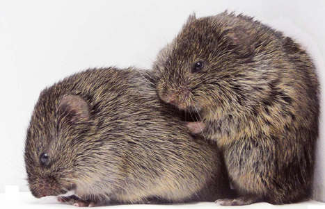 Prairie Voles Show Empathy Just Like Humans | animals and prosocial capacities | Scoop.it