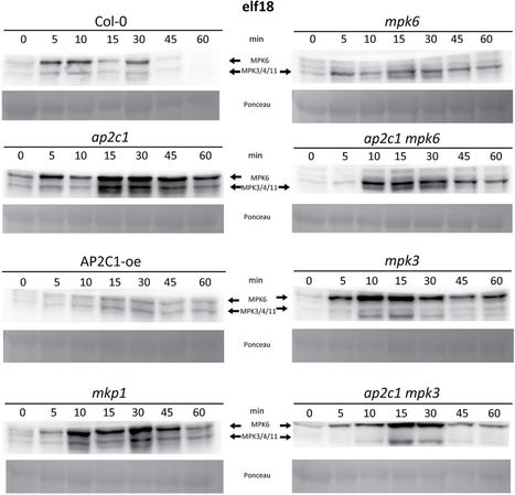 J Exp Bot: Protein phosphatase AP2C1 negatively regulates basal resistance and defense responses to Pseudomonas syringae (2016) | Publications from The Sainsbury Laboratory | Scoop.it
