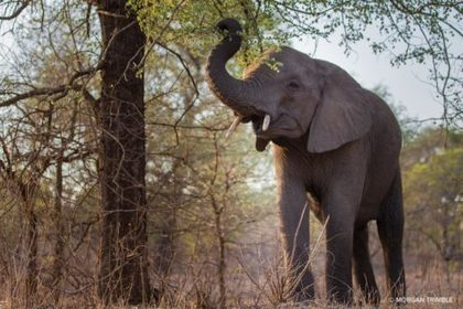 Massive relocation of 500 elephants begins in Malawi | Wildlife Trafficking: Who Does it? Allows it? | Scoop.it