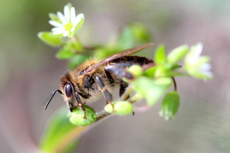 Do Honeybees Feel? Scientists Are Entertaining the Idea | Darwinian Ascension | Scoop.it