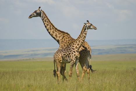 Masai Mara Giraffe Wallpaper Hd 1302 Wallpaper