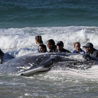 Des sauveteurs australiens se battent pour remettre un bébé baleine à la mer | Information sur les océans | Scoop.it