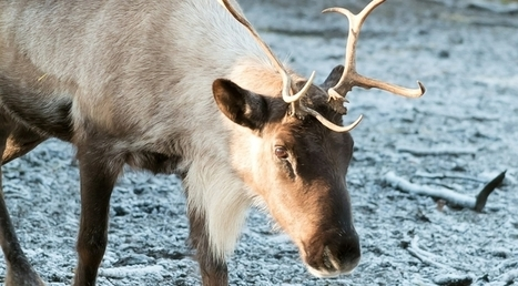 Four Questions: Rudolph and Those Reindeer Games | CALS in the News | Scoop.it