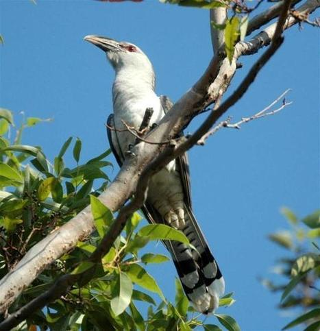 The Annual Cuckoo Migration: channel-billed cuckoos and koels - Sounds Like Noise | A World of Sound | Scoop.it