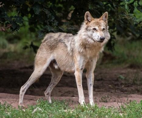 Le loup est bien de retour en Wallonie   Nature to Share   Scoop.it