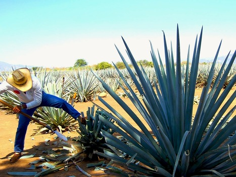 Nature News: Alcohol and science: Saving the agave (2005) | Biology & Biotech baubles | Scoop.it