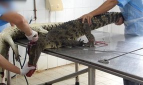 Crocodiles Cut Open, Skinned in Vietnam for Leather Bags | Nature Animals humankind | Scoop.it