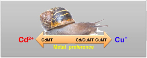 Cantareus aspersus metallothionein metal binding abilities: The unspecific CaCd/CuMT isoform provides hints about the metal preference determinants in metallothioneins | F. Monteiro Publications | Scoop.it