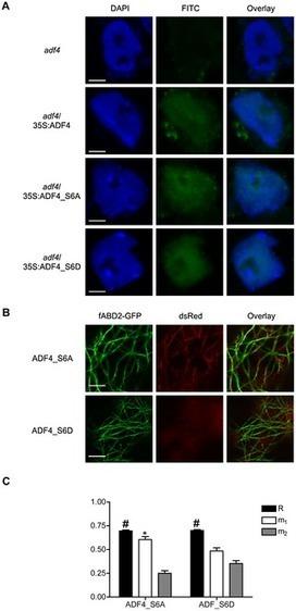 PLOS Pathogens: Arabidopsis Actin-Depolymerizing Factor-4 Links Pathogen Perception, Defense Activation and Transcription to Cytoskeletal Dynamics   Plant-Microbe Interaction   Scoop.it