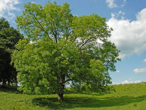 Deadly ash tree 'dieback' disease now found in 115 sites and a further six counties   100 Acre Wood   Scoop.it