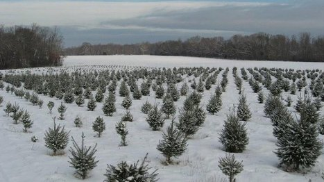 Christmas Tree Farmers Invest Long-Term In The Holiday Spirit | Christmas Trees and More | Scoop.it