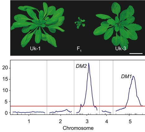 PLOS Biology: Autoimmune Response as a Mechanism for a Dobzhansky-Muller-Type Incompatibility Syndrome in Plants (2007) | epigenetic in plant development | Scoop.it